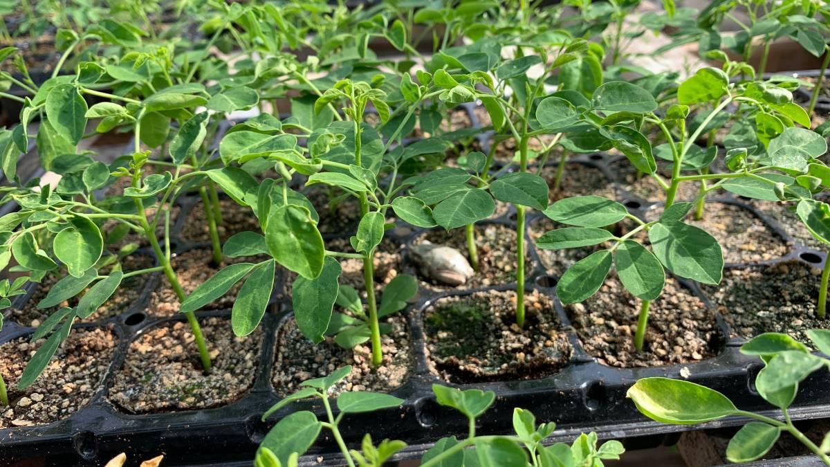今年も順調にモリンガが育っています(2)