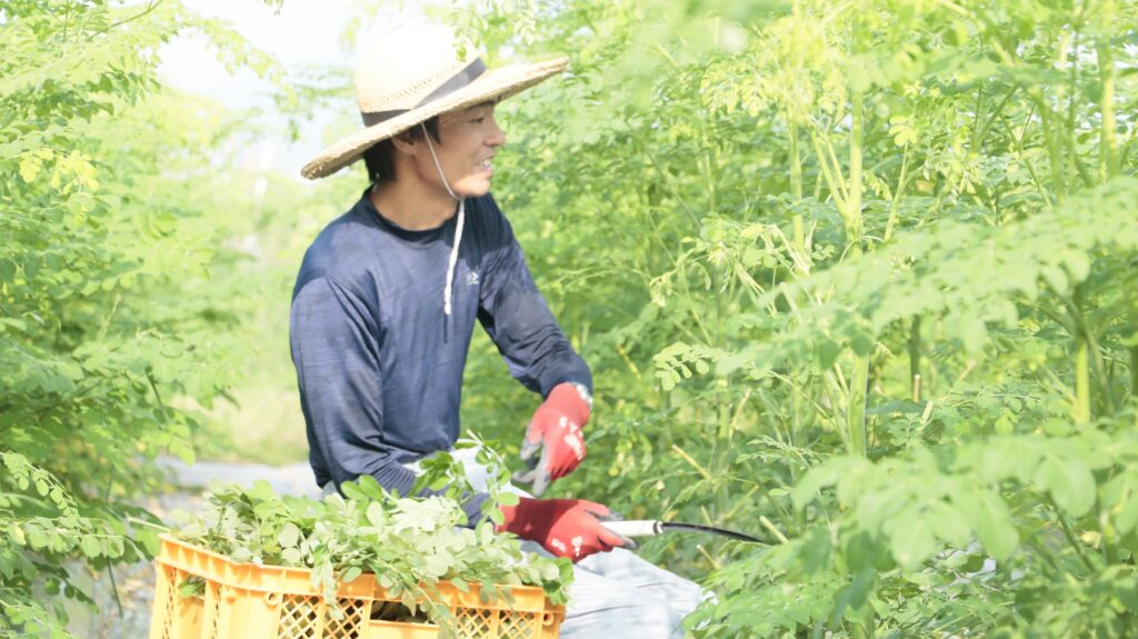 モリンガを収穫しました その3