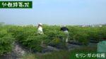 モリンガ収穫の様子を動画にまとめました